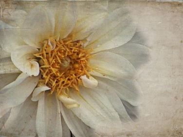 yellowdahlia texture