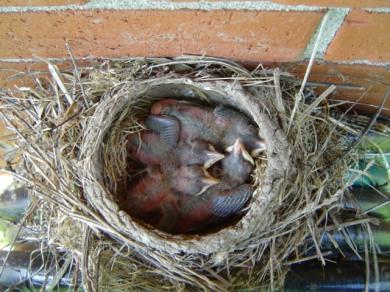 Baby Robins born 5-14-13