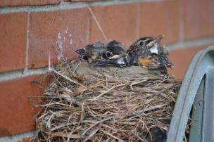 Baby Robins 5-21-13
