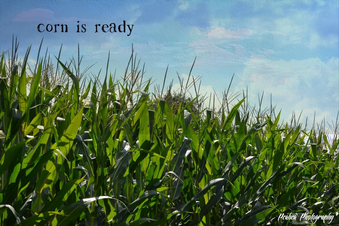 corn is ready copy