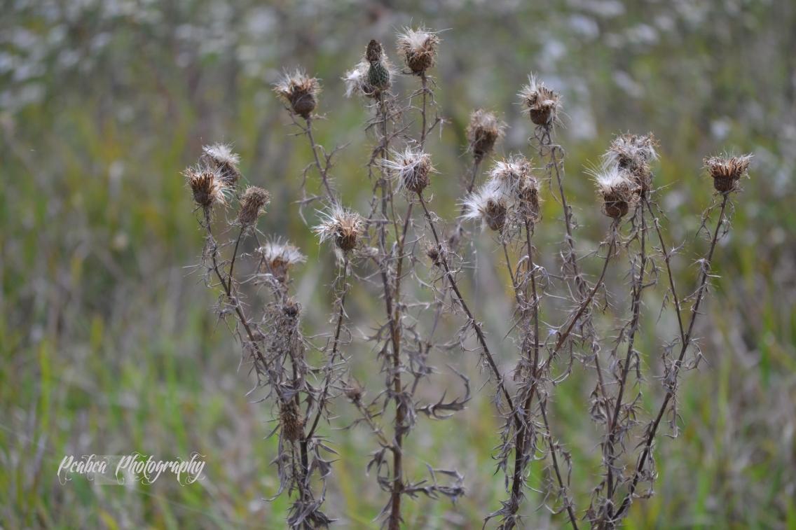 cottony weed