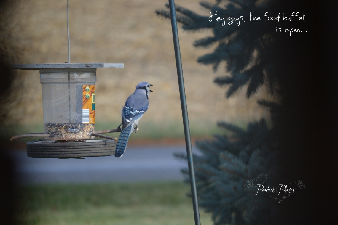 blue jay food buffet