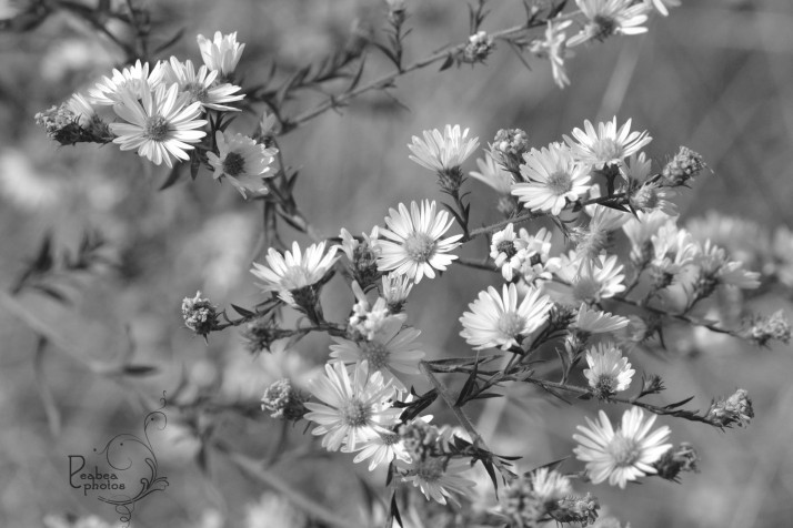 Daisy Weed for BW Wednesday