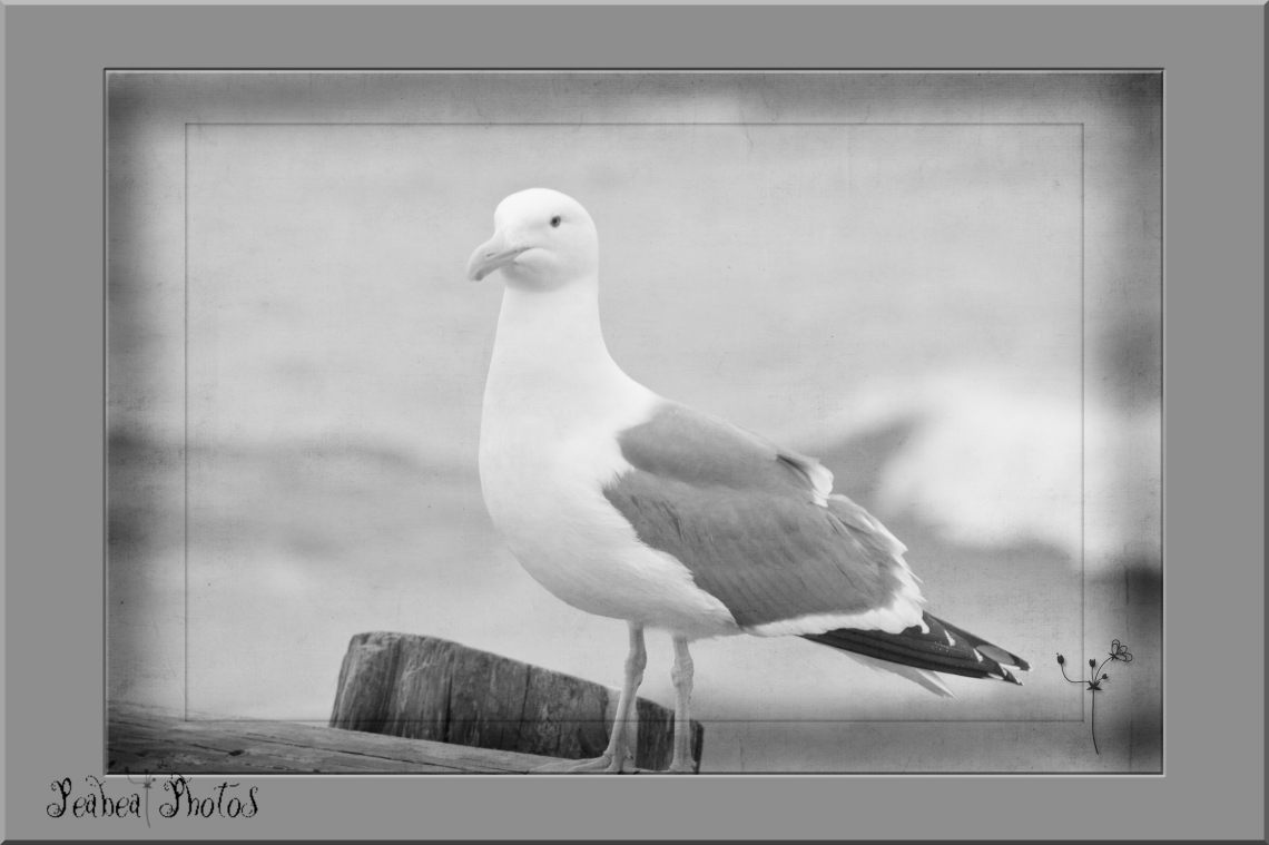 BW Wednesday Bird at Bodega Bay