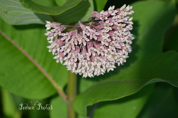 milkweed-for-pictorial