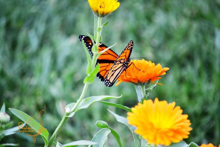 butterfly-in-yad-1