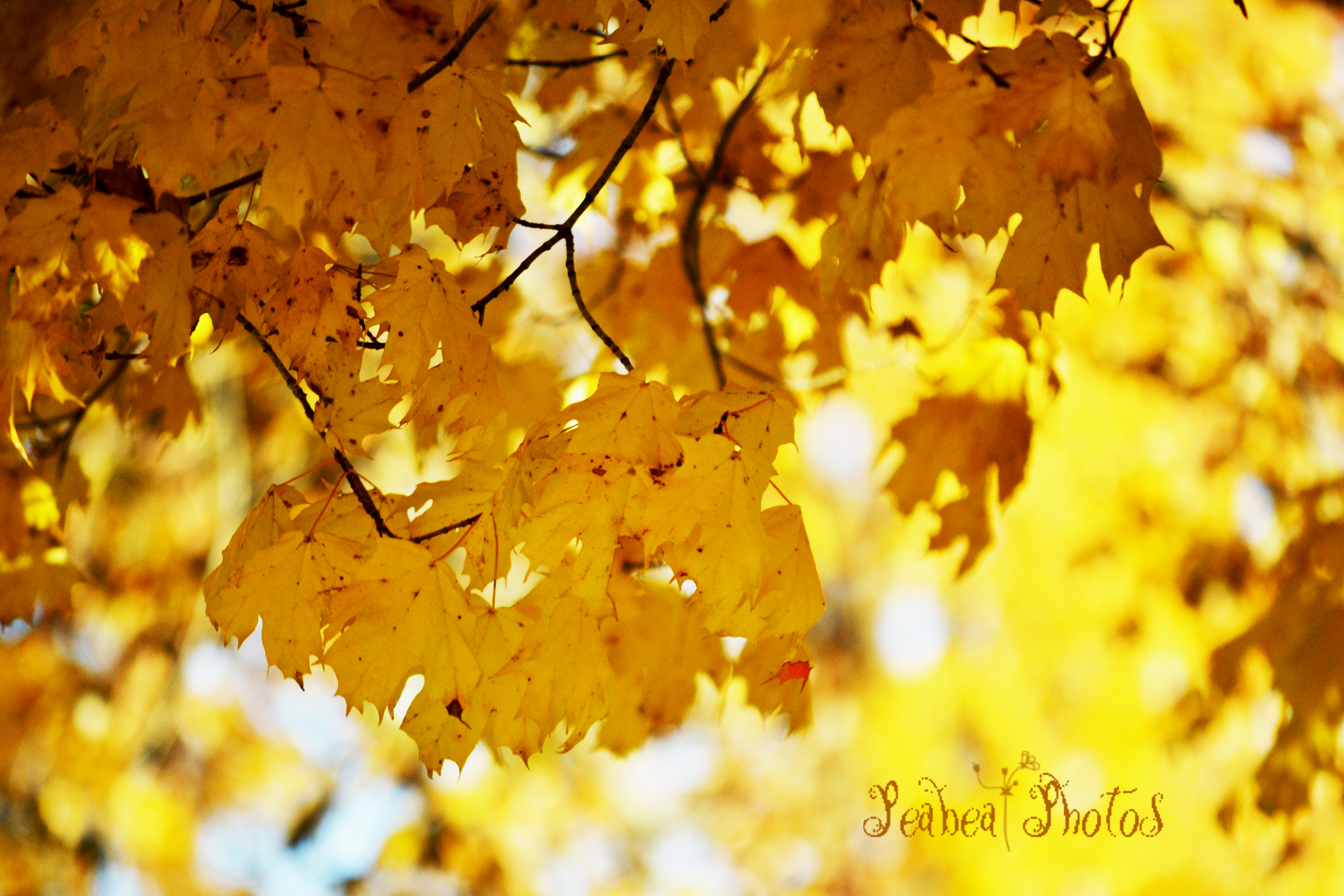 fall-leaves-yellow